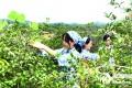 龙川县42万亩油茶开采