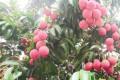 荔枝红了 农民笑了 品种改良让荔农尝到甜头